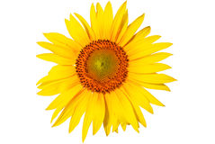Sunflower on a white background Stock Images