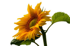 Sunflower on a white background royalty free stock photo
