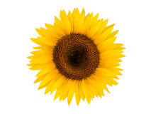Sunflower on a white background Royalty Free Stock Images