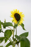 Sunflower. White background Royalty Free Stock Photography