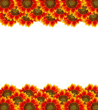 Sunflower on white background. Beatiful sunflower aling on white background Royalty Free Stock Photography