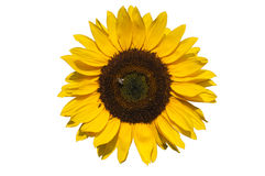 Sunflower on white background Stock Photos