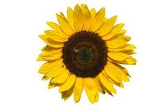 Sunflower on white background Stock Photos
