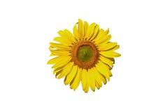 Sunflower on white background. stock image