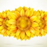 Sunflower on white background. EPS 10 Royalty Free Stock Image