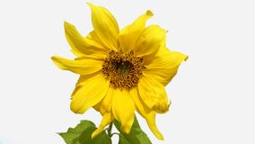 Sunflower in white background Stock Photography