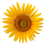 Sunflower on white background Royalty Free Stock Photography