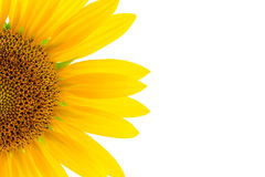 Sunflower white background Royalty Free Stock Photo