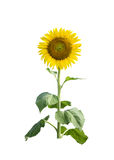 Sunflower on white background. Isolated Royalty Free Stock Image