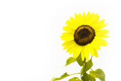 Sunflower on white background. Isolated flower with spacing for caption Stock Image
