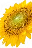 Sunflower with white background. Royalty Free Stock Photo