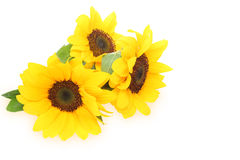 Sunflower in a white background Royalty Free Stock Photo