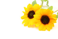 Sunflower in a white background Royalty Free Stock Image