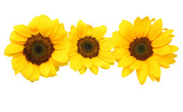 Sunflower in a white background Stock Image