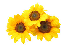 Sunflower in a white background Stock Photo