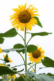Sunflower white background vertical composition Royalty Free Stock Photography