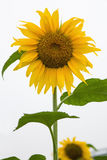 Sunflower white background vertical composition Stock Photo