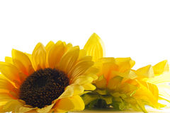 Sunflower on white background. Stock Photography