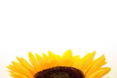 Sunflower on a white blackground Stock Photo