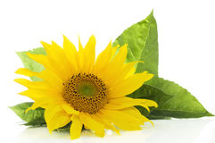 Sunflower on white Stock Photography