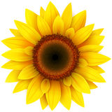 Sunflower. On white, realistic vector illustration Stock Photos