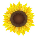 Sunflower  on white. Realistic vector illustration of sunflower,  on white. For summer and autumn design and decoration Royalty Free Stock Photography