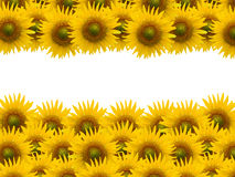 Sunflower on white space Royalty Free Stock Photography