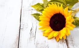 Sunflower on white wooden background Stock Photo