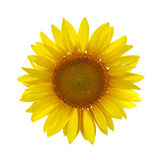 Sunflower on white Royalty Free Stock Image