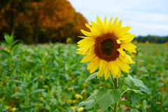 Sunflower on a wild meadow Stock Photography