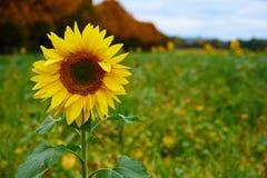 Sunflower on a wild meadow Stock Photos