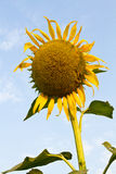 Sunflower wilt. Royalty Free Stock Images