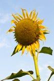 Sunflower wilt. Beautiful yellow sunflower wilt Royalty Free Stock Images