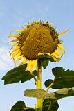 Sunflower wilt. Stock Photo
