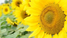 Sunflower in the wind stock video footage
