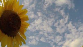 Sunflower in wind stock footage