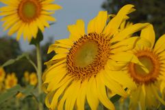 Sunflower on winter Stock Images