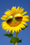 Sunflower in winter Stock Photography