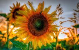 Sunflower. Winter on the river in eastern Croatia Royalty Free Stock Photo
