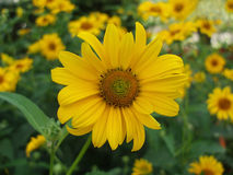 Free Sunflower With A Background Of Sunflowers Stock Photography - 186322