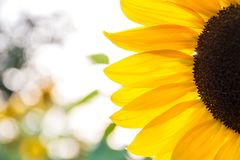 Sunflower. Wonderful arty colors of a sunflower in detail Stock Photos