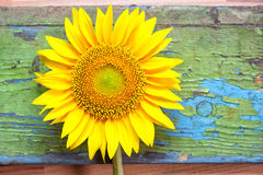 Sunflower on wooden background Stock Photo