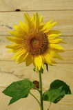 Sunflower with wooden background Royalty Free Stock Photo
