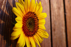 Sunflower On Wooden Background Stock Photo