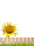 Sunflower and wooden fence Stock Photo