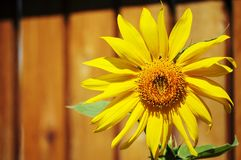 Sunflower on a wooden fence background. Royalty Free Stock Images
