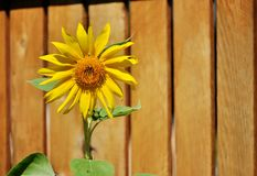 Sunflower on a wooden fence background. Stock Photography