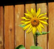 Sunflower on a wooden fence background. Stock Photos