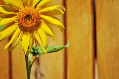 Sunflower on a wooden fence background. Stock Images