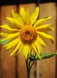 Sunflower on a wooden fence background. Royalty Free Stock Image